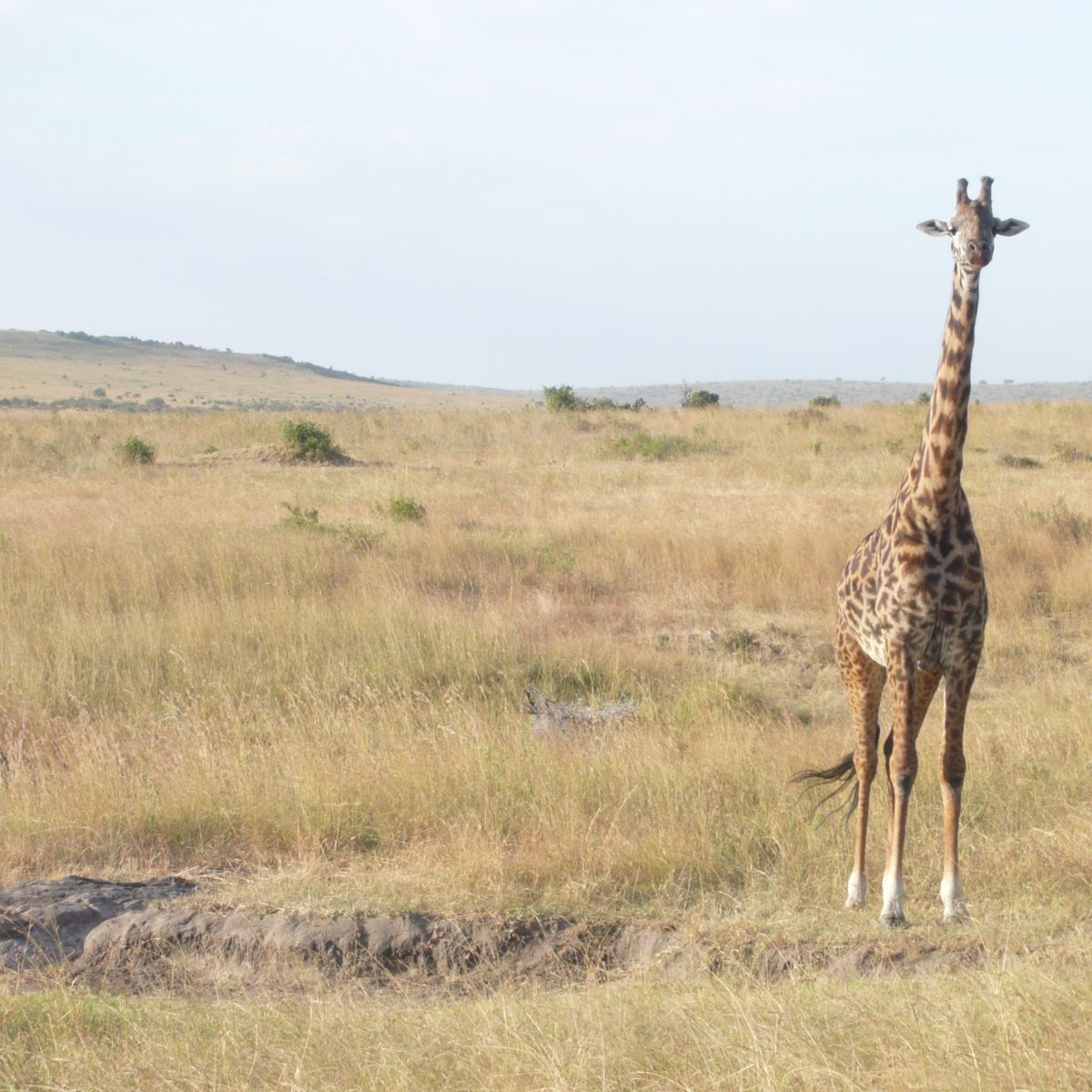nichts geht über die Giraffen